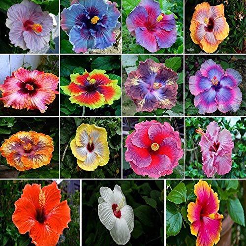 Portal Cool 20Seeds: Local Farmer Riesen- Hibiscus Exotic Coral Blume 20 Samen Mix Blau-Rosa-Farbe Uk -