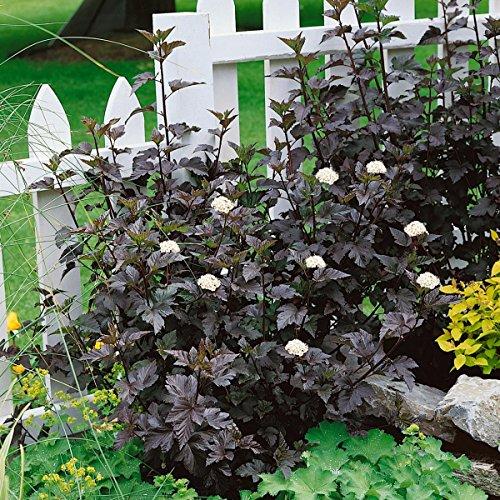 Dominik Blumen und Pflanzen Blasenspiere, Physocarpus opulifolius Diabolo, 1 Strauch, 3 Liter Container, 20-30 cm hoch, plus 1 Paar Handschuhe gratis