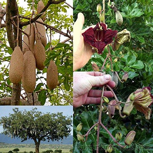 5 graines - Kigelia africana pinnata - Saugage arbre