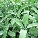 Marseed 100 Stück Seltene Pflanzen Samen steuern im Garten Weißer Salbei Sementes DIY Gartenkräutersamen White Sage Bonsai MAS014