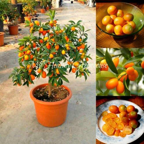 Best-Verkauf! 30pcs / bag Balkon Terrasse Topfobstbäume gepflanzt Samen Kumquat Samen orange Samen Tangerine Citrus f47