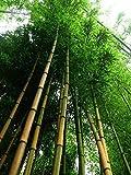 Goldener Bambus 100 Samen -Winterfest- 'Phylostachys aurea'