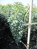 Amelanchier arborea Robin Hill - Felsenbirne Robin Hill