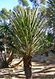 TROPICA - Mexikanische Wüsten - Yucca ( Yucca filifera ) - 10 Samen