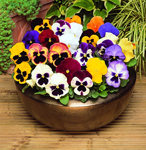 Pansy Mixed 12 Bedding Plants British Grown Garden Ready