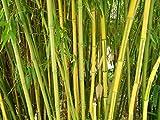 Winterharter Riesen Bambus 500 Samen (Bis zu 35 Meter Hoch)