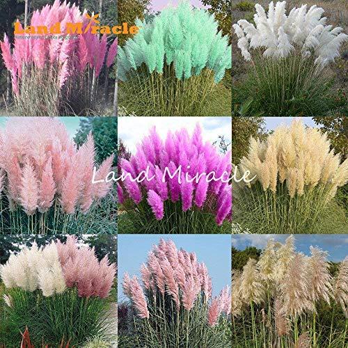 9 colori 100 semi misti erba di pampa semi cortaderia selloana, giardino bonsai fiori in vaso pianta perenne pianta hardy