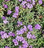 Blaukissen Cascade Blau - Aubrieta cultorum