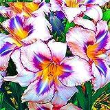 Qulista Samenhaus - 50pcs Raritäten Taglilie Hemerocallis Blütenmeer 'Butterfly Beauty' Blumensamen winterhart mehrjährig, geeignet für Balkon/Garten/Terrasse