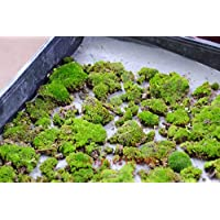 200pcs semillas musgo, semillas Sagina subulata, musgo bonsai semillas de gramíneas decorativas, plantas en maceta para el jardín de DIY