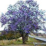 Plant World Seeds - Jacaranda Mimosifolia Seeds
