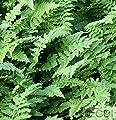 Krauser Wurmfarn - Dryopteris affinis von Baumschule bei Du und dein Garten