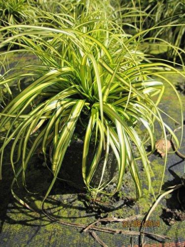 Carex oshimensis Eversheen - Gartensegge Eversheen