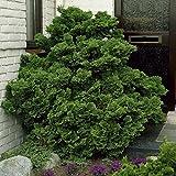 Scheinzypresse Hinoki obtusa nana Gracillis - 1 baum