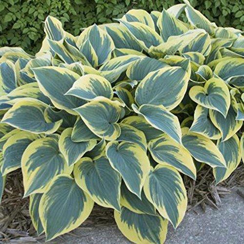ADOLENB Garten Samen - 20 stücke Hosta Blume Weiß Spitze Bonsai Hausgarten Pflanze Kriechen Sa Blumensamen (Hosta-samen)