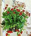 """BALDUR-Garten Balkon-Erdbeere """"Ruby Ann"""" F1,3 Pflanzen von Baldur-Garten bei Du und dein Garten"""
