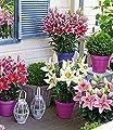 """BALDUR-Garten Niedrige Topflilien """"Romance® Mix"""" 4 Knollen Lilium orientale von Baldur-Garten bei Du und dein Garten"""