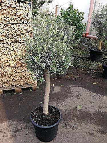 Olivenbaum - Olea Europea Hochstamm 130 cm Stammumfang 13 cm Formgehölz