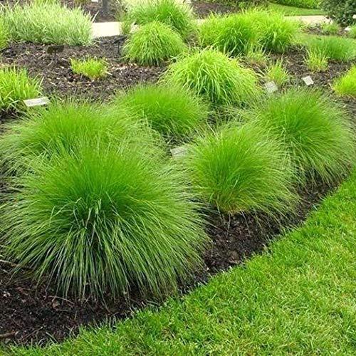 Acecoree Samen- Blauschwingel 'Silbersee' Bunter Ziergras Samen winterhart mehrjährig Schwingel pflegeleicht Rasensamen für Garten/Steingärten