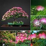 FOReverweihuajz Heißer Verkauf! Seltene Albizia Baum Blumen Samen mehrjährige Topfpflanzen Home Garten Deko-Zubehör-100Pcs