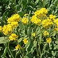 Felsensteinkraut 'Goldkugel' (Alyssum saxatile) von Lichtnelke Pflanzenversand bei Du und dein Garten