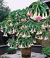 """BALDUR-Garten Engelstrompete """"Rainbow Tricolor"""",1 Pflanze Brugmansia Datura 3 Farben in einem Topf von Baldur-Garten - Du und dein Garten"""