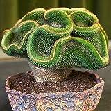 FOReverweihuajz Ausverkauf! 100Pcs Mini-Kakteen Samen Astrophytum Sukkulenten Topfpflanzen DIY Home Garten Garten-Dekor
