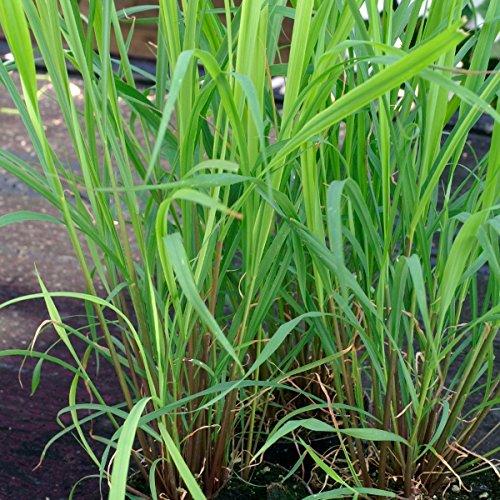 herb-seeds-lemongrass-1000-seeds
