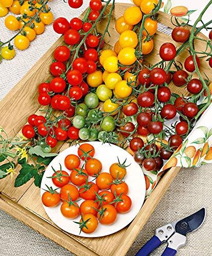 mymotto Gemüsesamen - Kirschtomaten 'Cherry Mix', herrliche und saftige kleine Tomaten, 100 Samen - Orange Cherry-tomaten