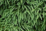 Tree Seeds Online - Sicheltanne Japonica- Japanisch Zeder 25 Samen - 10 Packungen