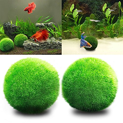 Angju - [Bolas musgo] acuario plantas vivas, bola