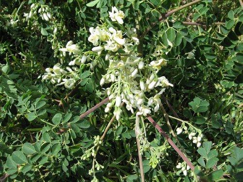 100-seeds-moringa-oleifera-fast-growing-miracle-tree-drumstick-organically-grown