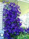 100pcs / bag Clematis semi clematide fiori semi di vite semi di fiori perenni rampicanti piante clematide bonsai pentola pianta da giardino 3