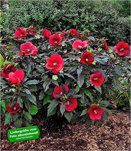 BALDUR-Garten Winterharter Hibiskus Summerific® Midnight Marvel, 1 Pflanze Staudenhibiskus