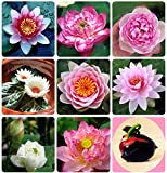 #8: Creative Farmer Lotus Seeds For Planting For Pots Seeds And Plants For Home Garden 15 Seeds- Garden Flower Seeds Pack