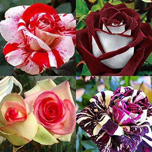 tomasa seedhouse- 100 pz arcobaleno rosa fiori semi, perenne hardy fragrante semi di rosa semi di fiori per balcone, giardino