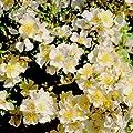 Zwergrose 'Sonnenröschen®' - ADR-Rose - 1 Pflanze von Garten Schlüter auf Du und dein Garten