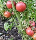 10 Samen Berner Rose Tomate - aromatische Fleischtomate, beliebte Sorte