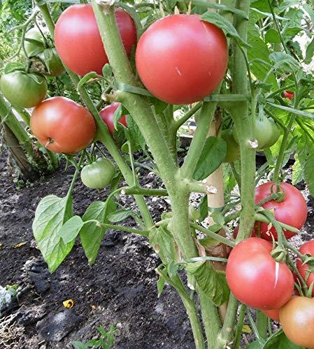 10 Samen Berner Rose Tomate - aromatische Fleischtomate, beliebte Sorte Rose Tomate