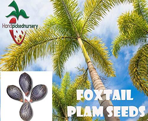 PLAT FIRM GERMINATIONSAMEN: 5 Foxtail Palm Samen (Wodyetia bifurcata) von Hand gepflückt Nursery