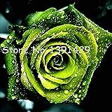 11.11 Auf chinesische grünen Rosen-Samen Liebhaber Golden Green Rose Samt stark duftende Gärten Rosen-Blumen-120 Samen / Beutel