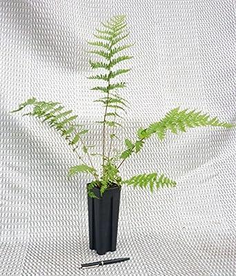Farn- 10 Stk.- Athyrium filix-femina 'Victoriae'- Topf: 0,7 ltr. von GardenPalms - Du und dein Garten