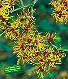 BALDUR-Garten Zaubernuss, 1 Pflanze Hamamelis mollis Pallida Winterblüher winterhart