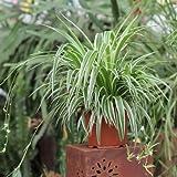 Grünlilie Chlorophytum comosum 'Ocean' Ø 30 cm