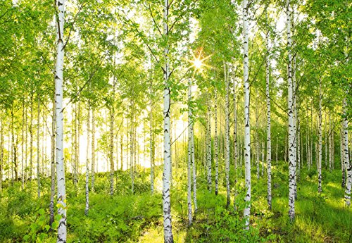 komar-xxl4-519-368-x-248-cm-national-geographic-sunday-spring-birch-tree-forest-wallpaper-mural-gree