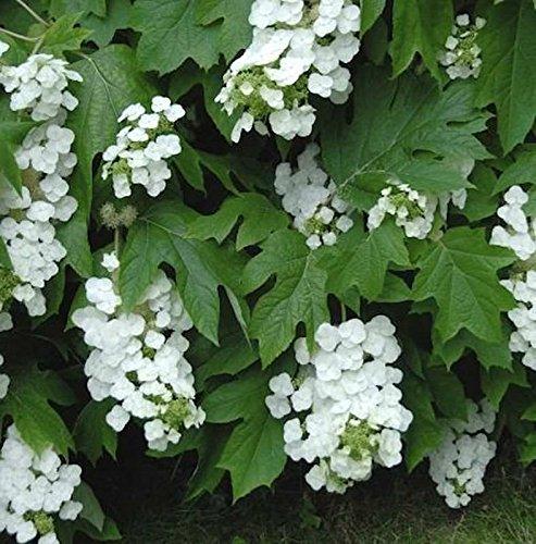 Eichenblättrige Hortensie Snowflake 40-60cm – Hydrangea quercifolia