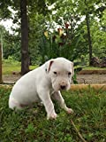DOGO ARGENTINO THE ULTIMATE HUNTING AND HOUSE DOG [OV]
