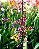 Vivai Le Georgiche Orchidea Oncidium Sharry Baby