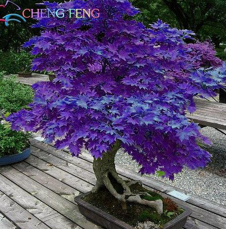 mini-beau-violet-graines-japonais-bonsai-maple-graines-de-bricolage-arbre-plante-bonsai-arbuste-grai
