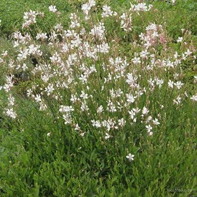 Prachtkerze (Gaura lindheimerii) weiß von Lichtnelke Pflanzenversand - Du und dein Garten
